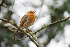 Little red in winter (2/2) : white background (Franck Zumella) Tags: bird oiseau animal feather plume nature red robin breast redbreast rouge gorge rougegorge small petit ball balle funny fun sony a7s a7 tamron 150600 forest foret branch branche thinking think penser wildlife