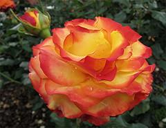 """Spot Light"" (Mary Faith.) Tags: rose bicolour orangeyellow bloom fullblown macro flower"