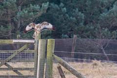 Buzzard (Richard J Hunt) Tags: formby nature wildlife canon700d birdwatching bird buzzard