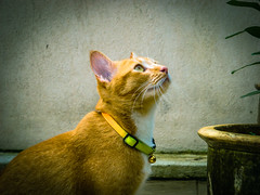 The cat and the flower pot 🌺 (stratman² (busy-taking care of Joey)) Tags: sonyphotography cybershotdscw150 babykat orangecats oreengenesses cc100 catportraits cat moments kucing comel gato chat neko flickr elite