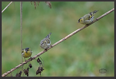 KUS850-6949 (Weinstöckle) Tags: vogel enz erlenzeisig