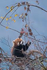 Wild Red Panda (Tim Melling) Tags: ailurus fulgens styani red panda labahe sichuan china timmelling
