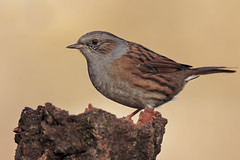 Passera scopaiola (Prunella modularis) (Marcello Giardinazzo) Tags: passerascopaiola prunellamodularis avifauna birds bird wild uccelli natura