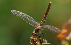 Ruddy Darter -Sympetrum sanguineum- Pulborough Brooks RSPB West Sussex (15) (Ann Collier Wildlife & General Photographer) Tags: ruddydarter sympetrumsanguineum pulboroughbrooksrspb westsussex royalsocietyfortheprotectionofbirds insects britishinsects naturalhistory naturereserves nature macro