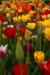 Tulipany w Rundale (jacekbia) Tags: europa latvia łotwa rundāle park przyroda nature natura kwiaty flowers tulipany kolory colors rośliny canon 1100d