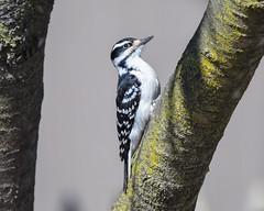 Hairy woodpecker (andyraupp3) Tags: birds wildlife nature woodpecker hairywoodpecker