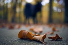 Totoro in the forest (Jos Mecklenfeld) Tags: totoro dutchshepherd dutchshepherddog hollandseherder hollandseherdershond shepherd shepherddog herder herdershond schäferhund holländischerschäferhund dog hund hond autumn herbst herfst nature natur natuur forest wald bos westerwolde niederlande nederland jipsingboertange groningen netherlands nl sonya6000 sonyilce6000 sel30m35