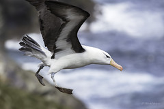 Just in Time Landing - Black-browed Albatros (Chantal Jacques Photography) Tags: droppingin justintime blackbrowedalbatros landing falklandislands