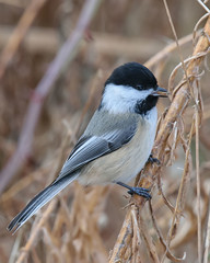 Chickadee -9293 (RG Rutkay) Tags: nature wildlife lyndeshoresconservationarea blackcappedchickadee bird natural