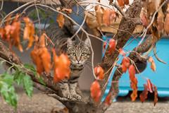 Mein Lieblingsbild...(explored) (Jana`s pics) Tags: hauskatze katzenportrait portrait getigert stubentiger cat pet animals animalphotography tiere tierfotografie tiger