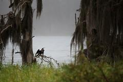 Morning Fog (ap0013) Tags: fog morning lake florida anhinga nature landscape circleb lakeland fl fla hancock barreserve bird