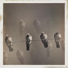 Pigeons | Plum Island, Massachusetts (rlonpine) Tags: pigeon plumisland hipstamatic rlonpine rl