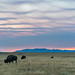 Bison Grazing at Dawn