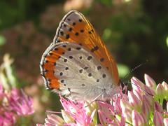 Lycaena hyllus (bronze copper), female (tigerbeatlefreak) Tags: lycaena hyllus bronze copper insect butterfly lepidoptera lycaenidae nebraska