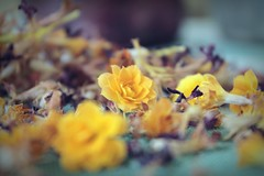 love is like flowers... (undefinable moods) Tags: love flowers bokeh bokehlicious yellow colors blossom dof nature naturephotography waitingforspring ranunculus