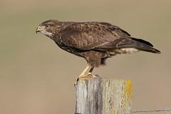 Buzzard Jan 2019 (b) (jgsnow) Tags: yellow bird raptor buzzard prepareforflight