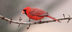 Lunch (mjohnsonpics) Tags: male cardinal nature ngc 150600mm f563 dg os hsm | contemporary 015 beautiful red canon sigma