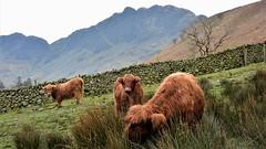 Highland Cattle (moniquerebanks) Tags: highlandcattle cattle lakedistrict buttermere hills mountains koeien beesten beast furry unesco worldheritage merengebied scenery view countryside nikond7100 nature farmanimals animals farm fellwalking hooglanders
