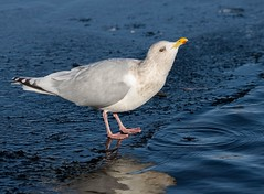 Gull (Karen_Chappell) Tags: bird nature gull white blue pond lake ice water nfld newfoundland seagull quidividilake stjohns canada atlanticcanada eastcoast avalonpeninsula reflection winter grey herringgull