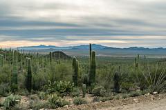 Tucson 057 (tyreedigital) Tags: tucson arizona southwest desert saguaro park outdoors mountains nature nationalpark cactus