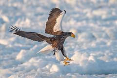 Eagle landing (BP Chua) Tags: japan rausu hokkaido kushiro bird nature wild wildlife animal winter snow ice iceberg sunlight fly flying landing canon 1dx