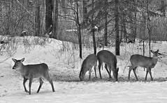 Whitetail Deer (in sliver tone) (Steve InMichigan) Tags: yashicaml50mmf20lens fotodioxcyeoslensadapter whitetaildeer deer blackwhite