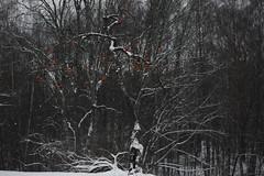 apple trees in black IV (Mindaugas Buivydas) Tags: lietuva lithuania color winter december tree trees appletree trakųistorinisnacionalinisparkas trakaihistoricalnationalpark dark darkness shallowdepthoffield