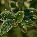 Iced Boxtree
