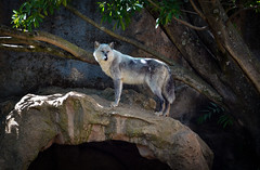 Surveying her domain (alphawolf_2013) Tags: wolf wolves alphawolf2013 colores colors zoo animals zoologico guatemala