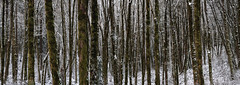 Snowy Panoramic Forest (kephart_kyle) Tags: cold february ferns foliage forest fuji fujifilm ice landscape morning moss nikon park portland snow trees winter woodland