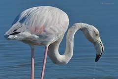 Flamingo (MoGoutz) Tags: phoenicopterus roseus greater flamingo nikon d500 φλαμίγκο εκβολέσ γαλλικού gallikos