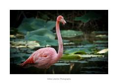 The majesté of the flamingo (gillouvannes56) Tags: pinkroseflamandbirdsoiseauxanimauxbranféréleguernocouleurscolorslightlumièrecanonzooparcanimalieranimals