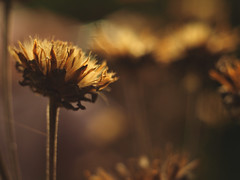 seed heads (Johnson Cameraface) Tags: 2018 october autumn olympus omde1 em1 micro43 meyeroptikgorlitzoreston 50mm m42 f18 manualfocus johnsoncameraface seeds dried flower