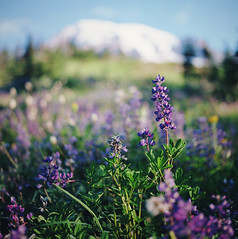 landscapes i've loved, part three (manyfires) Tags: pacificnorthwest pnw film analog hasselblad hasselblad500cm mediumformat square washington landscape mtrainier mtrainiernationalpark lupine wildflowers bokeh summer mountain meadow