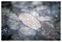 Drowning leaves (leo.roos) Tags: leaf blad leaves bladeren autumn fall herfst rain drop regen druppel pond vijver a7s zeissikonalinar114f35cm carlzeiss cz alinar3514 zeissikonalinar3514 copylens processlens projectionlens projectorlens darosa leoroos fixedlens adaptedtom42