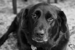 Enduring Loyalty (Modkuse) Tags: creature dog monochrome bw blackandwhite pet companion fujifilm fujifilmxt2 xt2 xf35mmf2rwr fujinon fujinonxf35mmf2rwr