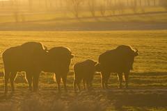 Żubr/European bison (mirosławkról) Tags: poland portrait wild animal mammal żubr european bison bonasus orange sunset sun grass trees