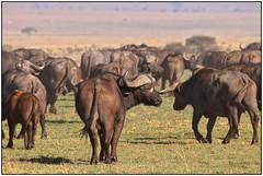 180916-0536 AFRICAN BUFFALO GUARD! (28HR) Tags: travel africa kenya safari maasai masai mara wildlife animal buffalo