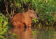 Capivara / Capybara (anacm.silva) Tags: capivara capybara mammal mamífero wild wildlife nature natureza naturaleza pantanal brazil brasil pixaimriver riopixaim ngc coth5