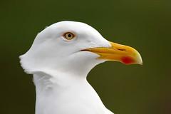 Seagull - Whitby - 2018-04-29 (BillyGoat75) Tags: gull seagull seabird laridae bird bokeh nature whitby northyorkshire england