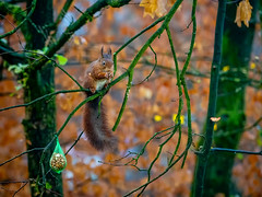 Squirrel (Marc Rauw.) Tags: squirrel rodent chestnut peanut brown furry funny cute forest trees branch fur tail eating animal fauna nature autumn fall olympusomdem5markii olympus omd em5 mzuiko40150mmpro mzuiko 40150mm microfourthirds m43 μ43 hoenderloo veluwe thenetherlands netherlands