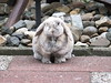 """Wut?"" (eveliensbunnypics) Tags: bunny rabbit lop lopeared polly outdoor outside backyard patio dewlap"