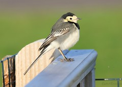 Pied Wagtail Lee on Solent Airfield 2019 (SupaSmokey) Tags: 2019 pied wagtail lee solent airfield