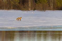 Red Fox (www.finnature.com) Tags: auringonlasku kettu koskenkylä koskenlampi maaliskuu2017
