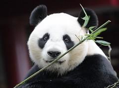 giant panda Ouwehands 094A0185 (j.a.kok) Tags: animal bear beer bamboebeer bamboobear panda giantpanda grotepanda china asia azie mammal zoogdier dier ouwehands