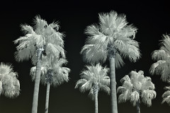 Houston Palm Trees (infrared) (dr_marvel) Tags: ir infrared bw palm tree blackandwhite houston tx texas sky