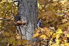 Hairy Woodpecker, Minnesota, Sherburne County, Sherburne National Wildlife Refuge (EC Leatherberry) Tags: hairywoodpecker minnesota woodpecker sherburnecounty sherburnenationalwildliferefuge nationalwildliferefuge usfishandwildlifeservice leuconotopicusvillosus