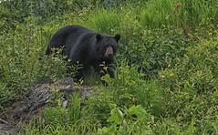 Curious Black Bear (crafty1tutu (Ann)) Tags: travel holiday 2018 canadaandalaska alaska animal bear blackbear wild inthewild roamingfree anchorage crafty1tutu canon5dmkiii canon24105lserieslens anncameron