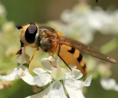 Hoverfly at rest... (déise.portláirge) Tags: hoverfly hoverflies fly flies wingedinsect insect insects insectcloseup naturecloseup nature naturedetails naturalworld amateurphotography mothernature coloursofnature