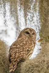 Barred Owl (agnish.dey) Tags: birding birdwatching bird birdsofprey owl barredowl naturallight nature naturephotograph nikon naturethroughthelens florida wildlife coth animalplanet d500